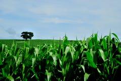 Brazil agriculture. Corn plantation, Minas Gerais Estate, Brazil Royalty Free Stock Photo