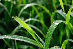 Brazil agriculture. Water drop at corn plantation, Minas Gerais Estate, Brazil Stock Photography