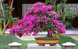 Brazil bougainvillea bonsai plant Royalty Free Stock Photography