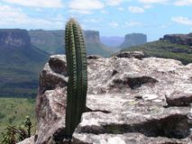 Brazil cactus Stock Image