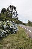 brazil gramadohortensias Arkivfoton