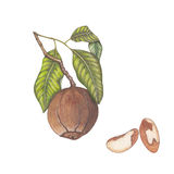 Brazil nuts. Hand drawn botanical illustration of brazil nuts with branch royalty free illustration