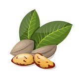 Brazil nuts with leafs  on white. Royalty Free Stock Photos