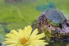 Good morning, Brazil turtle royalty free stock image