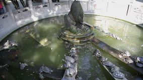 Brazil turtle in a pond,xi`an,china stock video