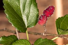 Braziliaans Blackberry MORUS CELTIDIFOLIA op moerbeiboom dichte omhooggaande foto - Macrofoto van Braziliaanse balckberry op moer royalty-vrije stock afbeelding