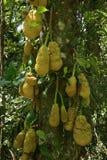 Braziliaans Jack Fruit royalty-vrije stock fotografie