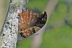 Braziliaanse die vlinder in rest van Atlantisch Regenwoud wordt waargenomen Stock Afbeelding