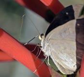 Braziliaanse die vlinder in rest van Atlantisch Regenwoud wordt waargenomen Stock Foto