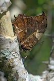 Braziliaanse die vlinder in rest van Atlantisch Regenwoud wordt waargenomen Stock Foto's