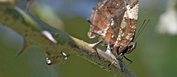 Braziliaanse die vlinder in rest van Atlantisch Regenwoud wordt waargenomen Stock Fotografie