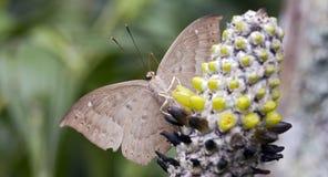 Braziliaanse die vlinder in rest van Atlantische Rainfores wordt waargenomen Royalty-vrije Stock Fotografie