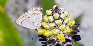 Braziliaanse die vlinder Strymon basilides in Atlantisch Ra wordt waargenomen Stock Afbeeldingen