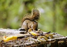Braziliaanse eekhoorn stock afbeelding