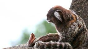 Braziliaanse kleine aap die zijn bont schoonmaken stock footage