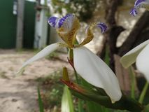 Braziliaanse Neomarica-Candidabloem in de tuin Royalty-vrije Stock Fotografie