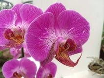 Braziliaanse Orchidee Stock Foto's