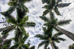 Braziliaanse palm stock foto