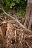 Braziliaanse Pantanal - Jaguar stock fotografie