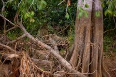 Braziliaanse Pantanal - Jaguar stock foto