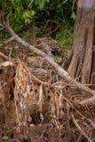 Braziliaanse Pantanal - Jaguar royalty-vrije stock foto's