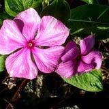 Braziliaanse roze bloem royalty-vrije stock foto's