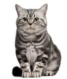 Braziliaanse Shorthair kat, 1 éénjarige, het zitten Stock Fotografie