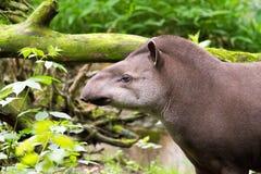 Braziliaanse tapir Stock Afbeelding