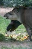 Braziliaanse tapir royalty-vrije stock afbeelding
