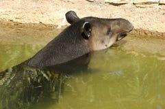 Braziliaanse Tapir Royalty-vrije Stock Afbeeldingen