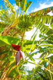 Brazilian Banana Tree Royalty Free Stock Images