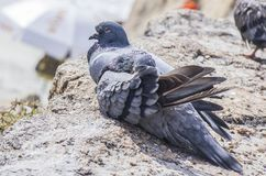 Pigeons resting in the sun royalty free stock image