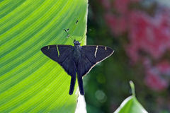 Brazilian black butterfly sighted in the Atlantic  Rainforest Royalty Free Stock Image