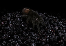 The Brazilian black in dark-coloured dried large grape Royalty Free Stock Image