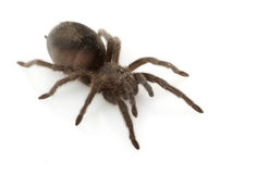 Brazilian Black Tarantula Royalty Free Stock Images
