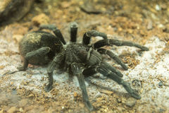 Brazilian black tarantula found in Brazil and Uruguay. Brazilian black tarantula (Grammostola pulchra) found in Brazil and Uruguay Royalty Free Stock Images