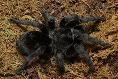 Brazilian Black Tarantula Grammostola pulchra. A brilliantly black and large leg span spider, the Brazilian Black tarantula makes for a strikingly pretty pet stock photo