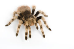 Brazilian Black and White Tarantula Royalty Free Stock Photography