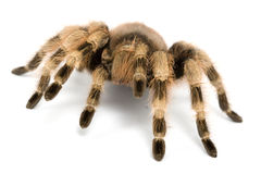 Brazilian Black and White Tarantula Royalty Free Stock Photo