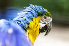Brazilian Blue and Yellow Macaw Royalty Free Stock Image
