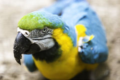 Brazilian Blue and Yellow Macaw.  Royalty Free Stock Images