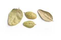 Brazilian Boldo Leaves. Close-up Photo Royalty Free Stock Image