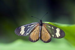 Brazilian butterfly sighted in Atlantic Rainforest Royalty Free Stock Images