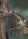 Brazilian butterfly sighted in Atlantic Rainforest Stock Photo
