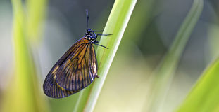 Brazilian butterfly sighted in remnant of the Atlantic Rainfores. T, one of the six Brazilian biomess - Sao Paulo, SP, Brazil - April 4, 2015 Royalty Free Stock Images