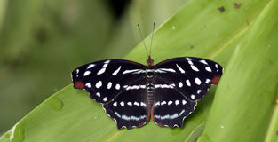 Brazilian butterfly sighted in remnant of the Atlantic Rainfores. T, one of the six Brazilian biomess - Sao Paulo, SP, Brazil - February 15, 2015 Stock Photos