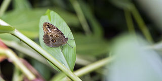 Brazilian butterfly sighted in remnant of the Atlantic Rainforest. One of the six Brazilian biomess Royalty Free Stock Image