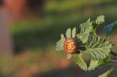Brazilian button flower, Centratherum, Larkdaisy; flower Royalty Free Stock Image