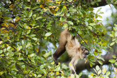 Brazilian Capuchin Monkey iHanging by Tail from Branch Royalty Free Stock Image