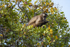 Brazilian Capuchin Monkey in Tree Looking at Hands Stock Image